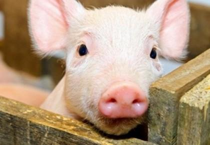 三部门:集中开展私屠滥宰综合整治防控非洲猪瘟