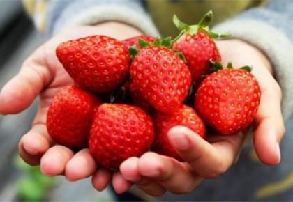 长春奢岭草莓陆续开园