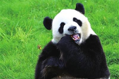 厉害了国宝!中美科学家发现大熊猫牙齿能自我再生