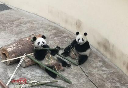 春节将至 东北虎园熊猫姐妹花给大家拜年啦!