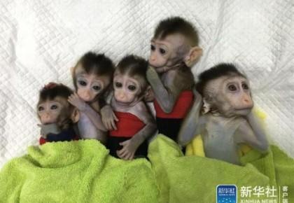 世界首例!这几只克隆猴可不简单