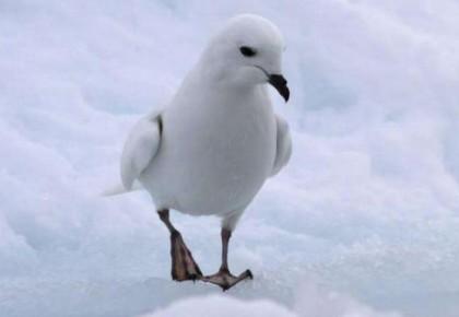 中国南极科考队首次利用红外相机自动监测南极雪海燕