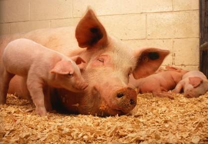 市场监管总局、农业农村部:猪肉生产企业要做好非洲猪瘟防控