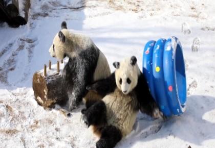 """熊猫姐妹花 雪地里上演""""熊猫功夫"""""""