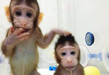 """体细胞克隆猴: 开启新药研发""""灵长类""""时代"""