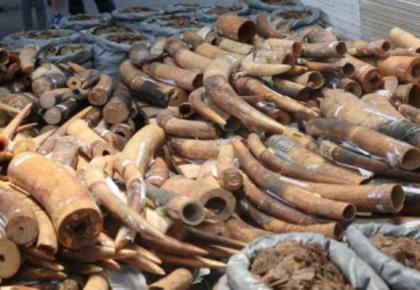 中国海关打击濒危物种走私:查获各类濒危动植物500吨,共抓获171人