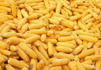 2019年万博手机注册省继续实行玉米和大豆种植者补贴政策,提高大豆补贴标准