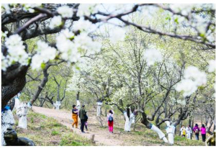 百年梨园 花开盛雪!长春莲花山第二届梨花节开幕