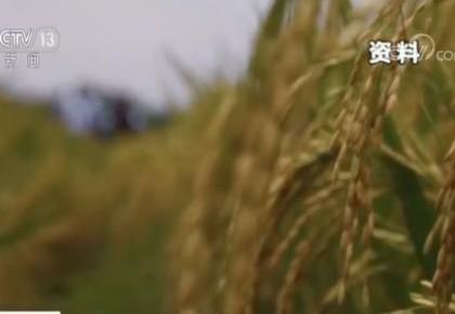 """中国""""绿色超级稻""""在18个亚非国家试种推广 超过160万农户受益"""