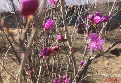 长春市德苑公园杜鹃花开 趁着春风,赏花吧!