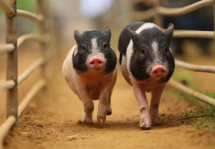 猪肉又涨价了?www.yabet19.net省猪肉4月价格较1月上涨超过40%