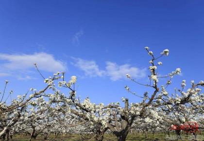 珲春市万亩苹果梨园梨花开