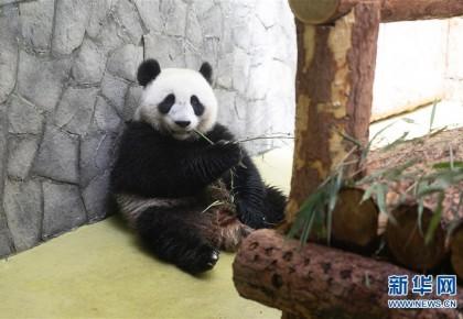 """""""友谊使者""""中国大熊猫入住莫斯科新家"""