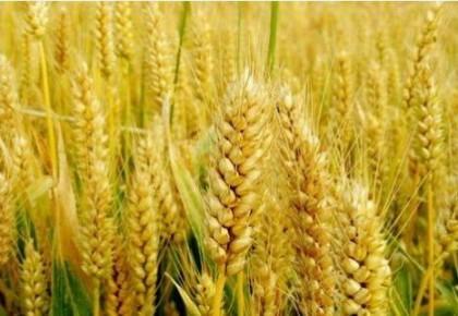 中國科學家成功破譯距今約3800年的古小麥全基因組