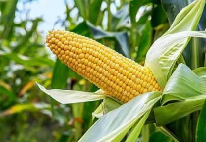 我國科學家成功繪制玉米高分辨三維基因組圖譜