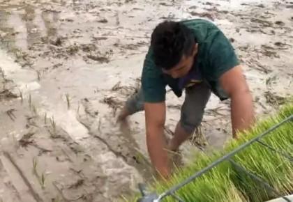 哇!稻苗在沙漠周边扎下了根