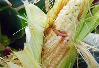 2019年吉林省一代玉米螟发生趋势预报