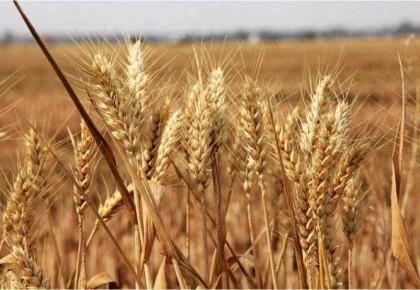 农业农村部:小麦质与量齐升 农民售粮收入有望保持基本平稳