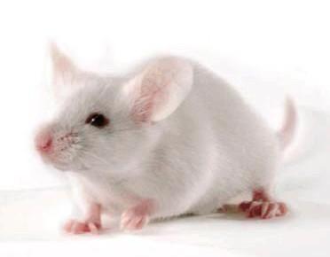 日本批准首个在动物体内培育人类脏器的研究项目