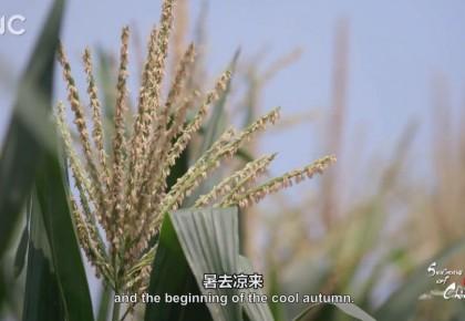 二十四节气大型纪录片《四季中国》 | 第十三集 立秋