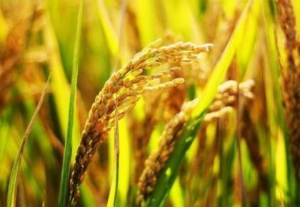 水稻如何能既早熟又高產?我國科學家發現新機制