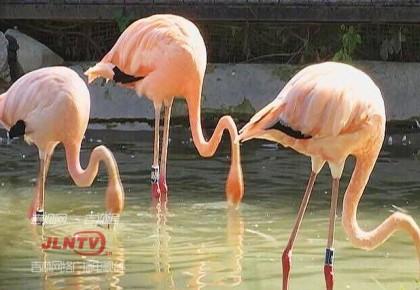 """长春市动植物园火烈鸟""""添丁""""  16只火烈鸟宝宝入驻"""