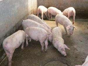 穩定當前生豬生產、加快構建現代養殖體系、完善疫病防控體系—— 推動生豬產業高質量發展(銳財經)