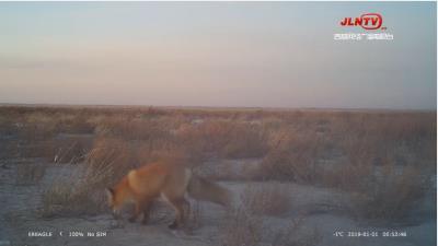 吉林大布苏保护区重现赤狐狗獾等多种野生动物