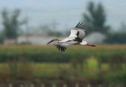 国家一级保护动物东方白鹳亮相珲春板石湿地