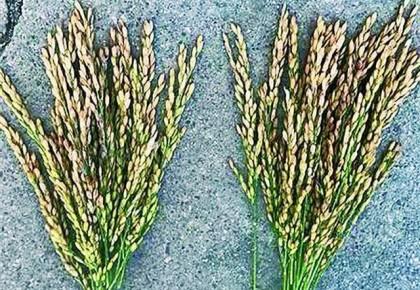 """超聲波給種子""""洗澡"""" 讓農作物增產"""