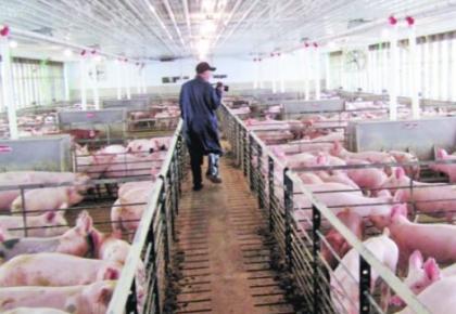 農業農村部:年底前全國生豬存欄有望止降回升