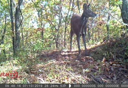 吉林省天橋嶺林區首次拍攝到國家一級保護動物原麝實體影像