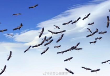 """真壯觀!500多只南遷的東方白鸛""""過站""""長春"""