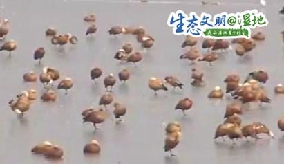 【生态文明@湿地】一分钟看万鸟迁徙壮观景象