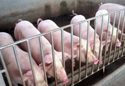 存栏止跌回升、产能加快扩充 全国生猪生产正加快恢复