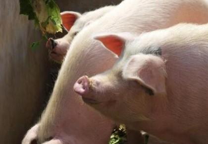 农业农村部:全国生猪存栏止降回升 猪肉价格连续四周回落