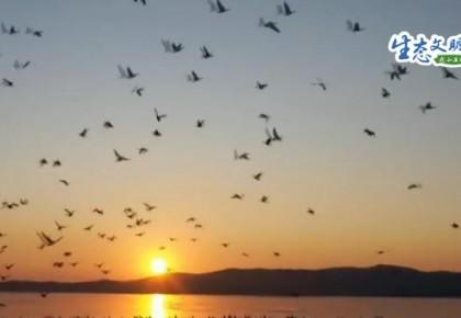 【生态文明@湿地】敬信湿地喜见南迁丹顶鹤