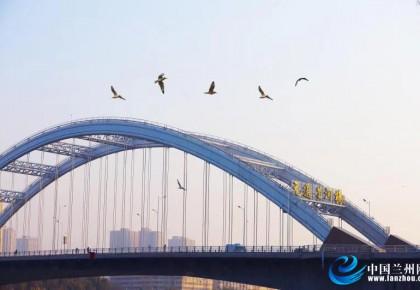 """【生态文明@湿地】候鸟翩翩来 野鸭戏水欢 金城仲冬""""来客""""多"""