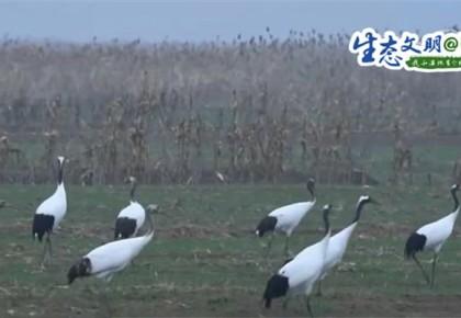 【生态文明@湿地】盐城黄海湿地:丹顶鹤一家四口悠闲觅食