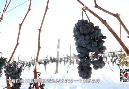好好学习丨低于-8℃才可采摘,这葡萄有啥不一样?