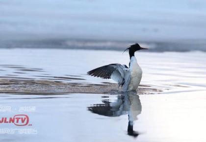 """国家一级保护鸟类""""中华秋沙鸭""""现身吉林松江河"""