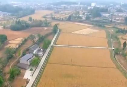 我国主产区夏粮进入成熟期 西南麦区喜获丰收
