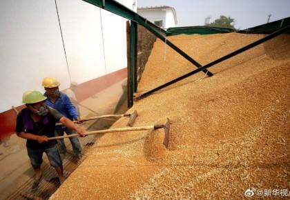 我國夏糧生產再獲豐收!總產量14281萬噸 比去年增0.9%