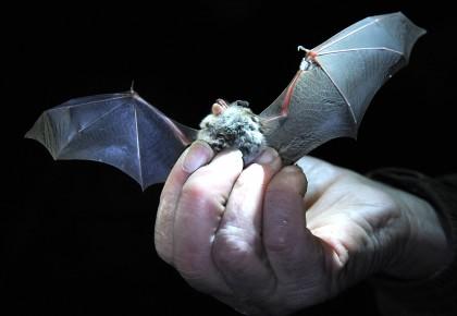 新冠病毒谱系可能已在蝙蝠中传播几十年