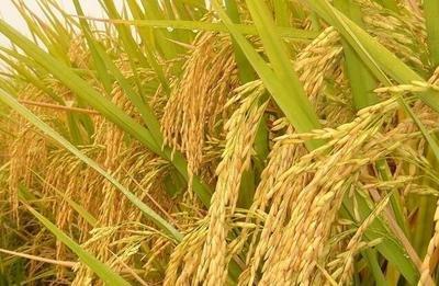 农业农村部:今年早稻收获已基本结束 增产趋势明显