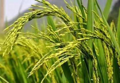 农业农村部:将秋粮作物重大病虫害损失控制在5%以内