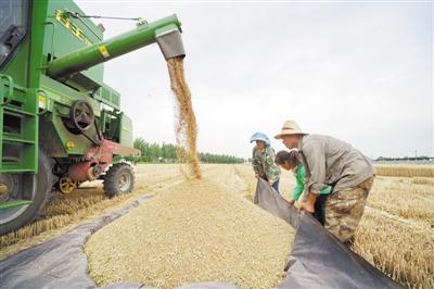 農民惜售導致豐年收購量減少,權威信息顯示—— 優質優價市場化糧食收購成主導