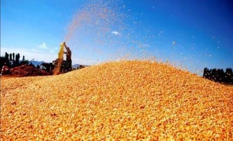 全省粮食收购玉米唱主角 中高端大米销量增长20%