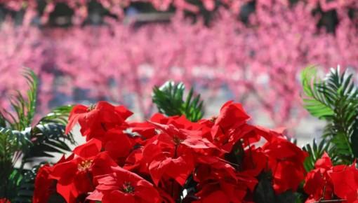 大年初一开始,长春市儿童公园将举行2018春节花展