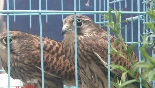【视频】野生红隼幼鸟受伤 暖心救助重回自然